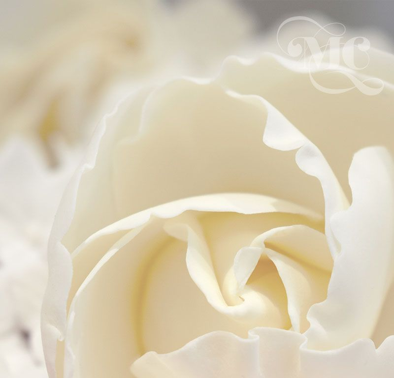 Ivory sugar rose